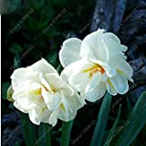ASTONISH SEEDS: 100pcs / bag narciso de flores, semillas de narcisos (no bulbos de narcisos) plantas...