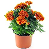 Marigold Sparky Flame Flower Seeds- 50pcs Tagetes Patula for Home Garden Outdoor Yard Farm Planting