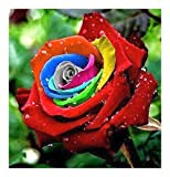 Exotic Plants Rosa Colores del Arco Iris - 10 Semillas