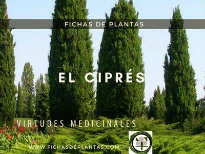 El Ciprés, Cupressus sempervirens | Botánica y Propiedades Medicinales