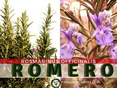 Romero, Rosmarinus officinalis