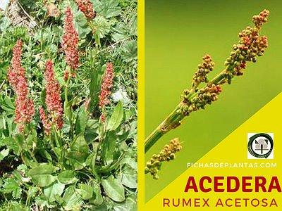 Acedera Planta Medicinal y Comestible
