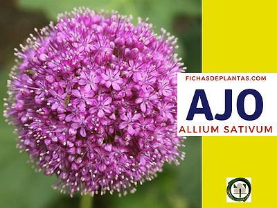 Ajo, Allium sativum