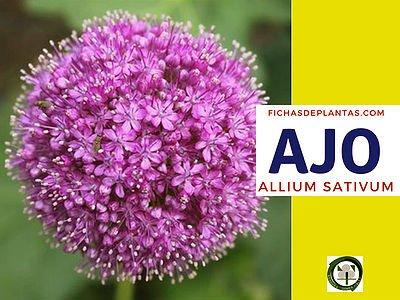Ajo, Allium Sativum, Planta Medicinal