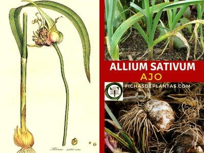Allium sativum, Ajo