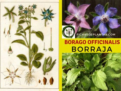 Borago officinalis, Borraja