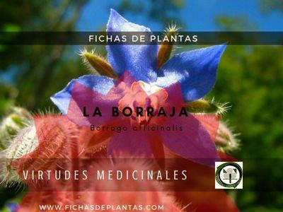 Borraja, Borago officinalis | Descripción y Propiedades