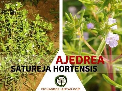 Satureja hortensis, Ajedrea