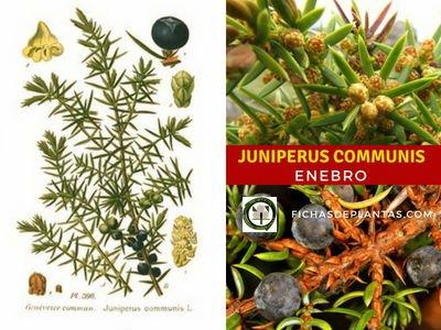 Juniperus communis, Enebro