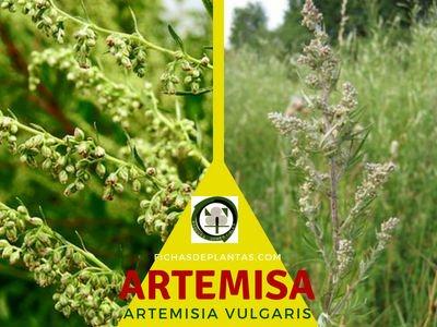 Artemisia, Planta Medicinal