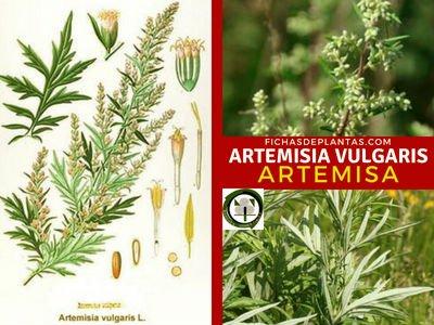 Artemisia vulgaris, Artemisa