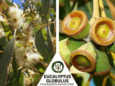 Eucalyptus globulus, Eucalipto