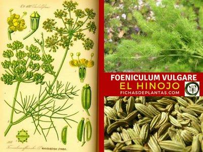 Foeniculum vulgare, Hinojo