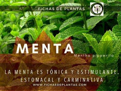 Menta, Menta pipperita, Planta Medicinal