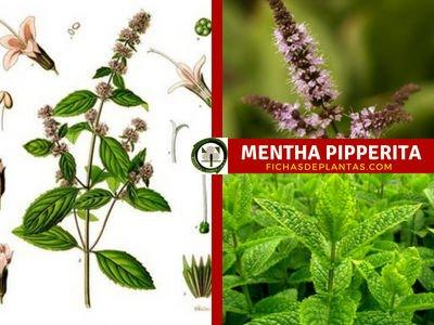 Mentha Pipperita