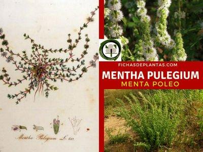 Mentha pulegium, Poleo Menta