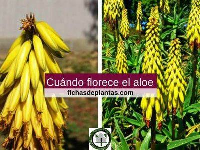 Flor-aloe-vera