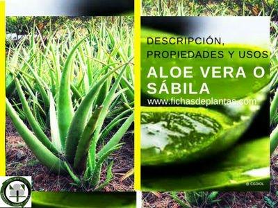 Aloe vera o Sabila planta medicinal por excelencia