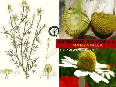 Matricaria chamomilla, Manzanilla