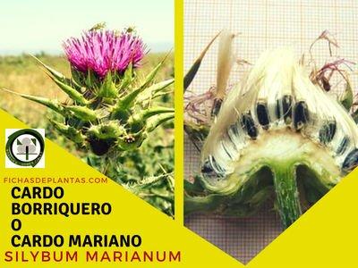 Silybum marianum gaertner | Fichas de Plantas