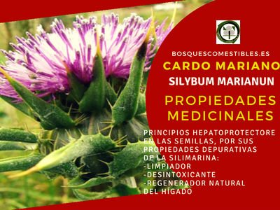 Silybum marianum, Cardo Mariano Propiedades