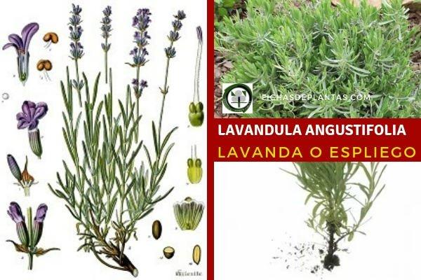 Lavandula angustifolia, Lavanda