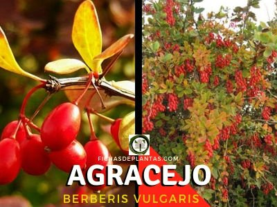 El Agracejo (Berberis vulgaris)