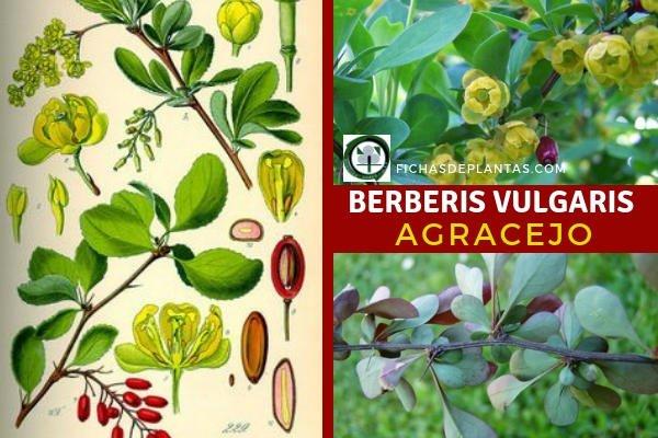 Berberis vulgaris, Agracejo