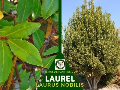 Laurel árbol Lauraceae