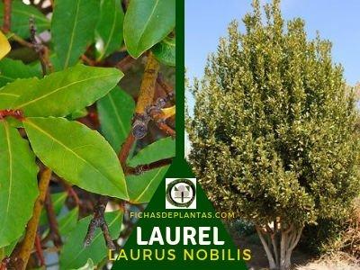 El Laurel, Laurus nobilis en los Bosques Comestibles