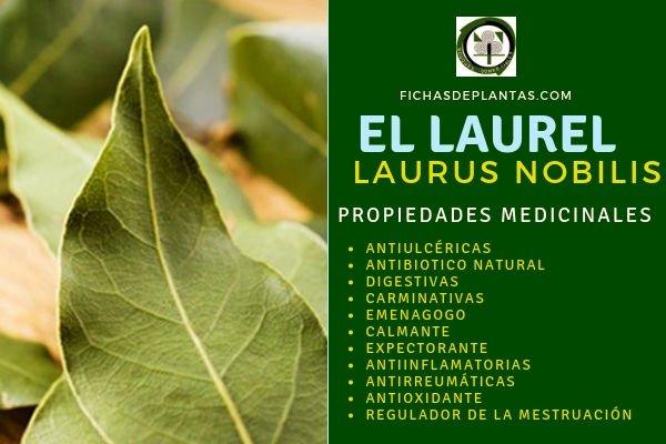 Laurus nobilis Propiedades Medicinales