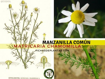 Manzanilla Común Planta Medicinal
