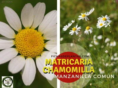 Matricaria chamomilla, Hierba Medicinal