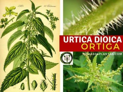 La Ortiga, Urica dioica | Usos y Propiedades medicinales