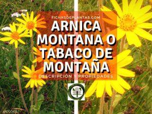 Arnica montana o Tabaco de montaña