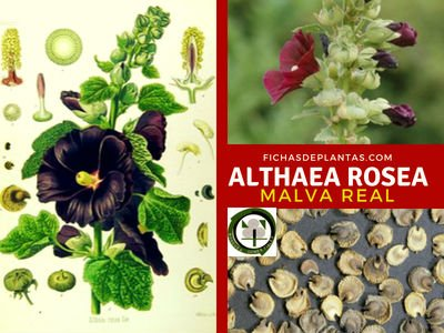 Althaea rosea, Malva Real