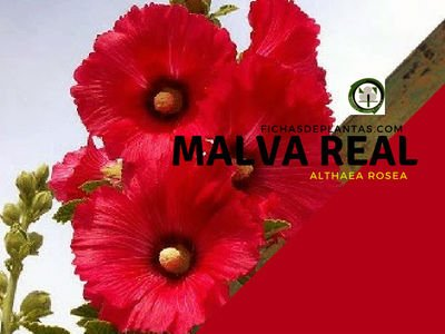 Malva Real, Althaea rosea