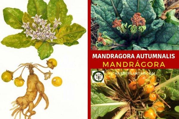 Mandragora autumnalis