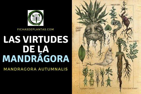 Virtudes de la Mandrágora