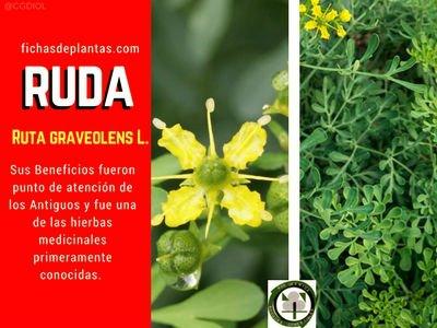 Planta Ruta graveolens