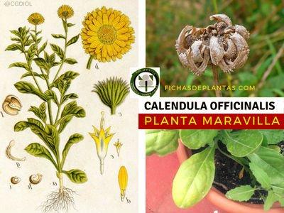 Calendula officinalis, Maravilla