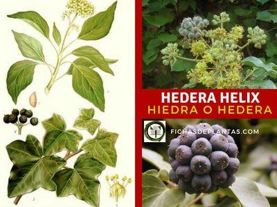 Hedera Helix, Hiedra