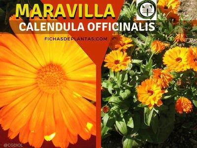 Maravilla Planta Medicinal