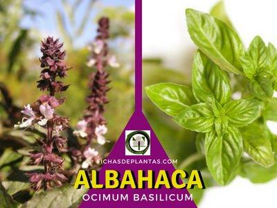 Albahaca, Ocimum basilicum