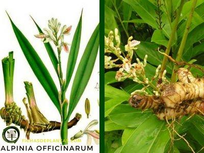 Alpinia officinarum, Galanga