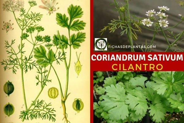 Cilantro Planta Medicinal