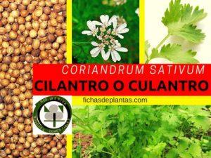 Coriandrum sativum, Cilantro