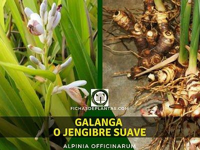 Galanga Planta Comestible