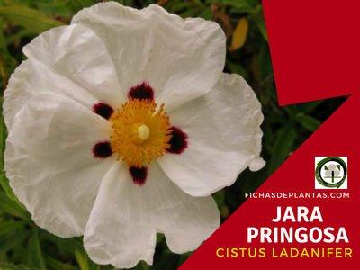 Cistus ladanifer o Jara Pringosa | Descripción y Propiedades