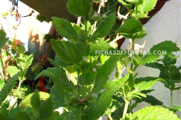 Melisa, Planta con Flor